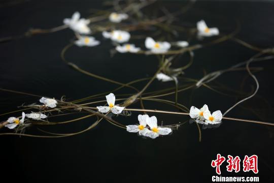 泸沽湖上的海菜花。 王磊摄