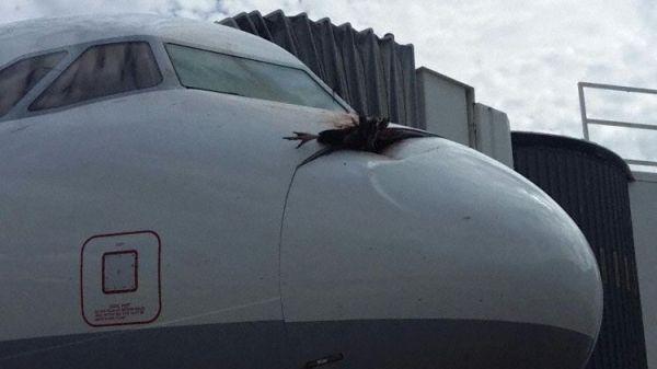又一只秃鹰撞击飞机嵌入雷达罩好惨!