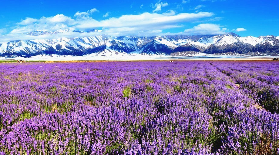 在薰衣草盛放的6月,从赛里木湖到伊宁的路上,你会不断看到薰衣草的图片