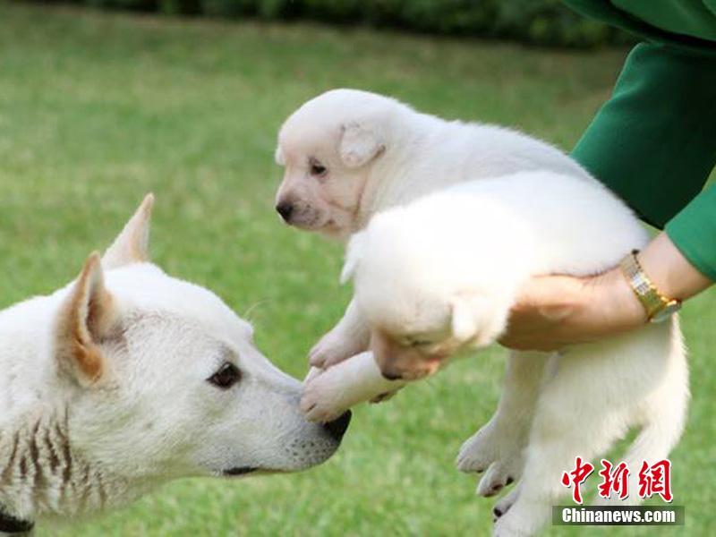 礼物送出的2只珍岛狗,其后2只小狗又下了7只崽.-朴槿惠被指涉嫌