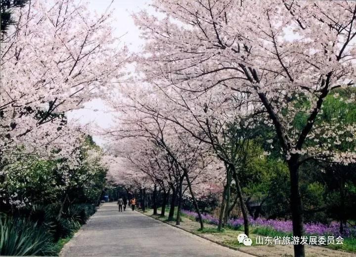 青岛·樱花节