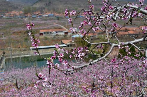春风浩荡,桃园绚烂.jpg