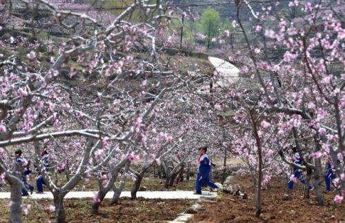 4月11日,在朱彦夫的故乡——山东省沂源县西里镇张家泉村,放学的孩子从盛开的桃花下走过。新华社记者徐速绘摄.jpg