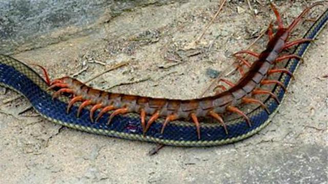 动物的世界 外国男子玩转巨型蜈蚣