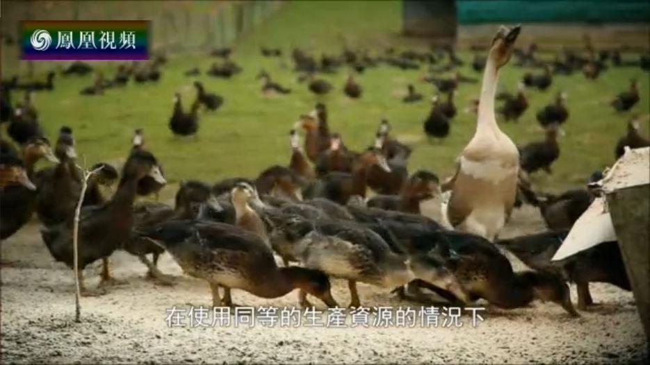 鸭子的非工业养殖