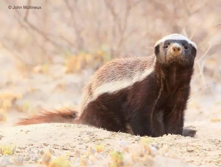 蜜獾-最无所畏惧的动物