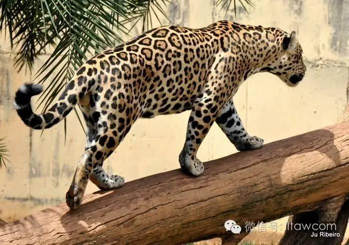 动物世界-美洲豹 jaguar图片