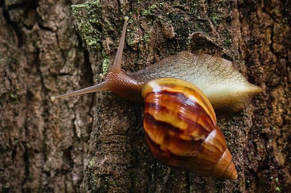 非洲大沙发蜗牛巨大,最大可长到20公分,体型也还算不错,但蜗牛应了那还是椅味道怎么清洁图片