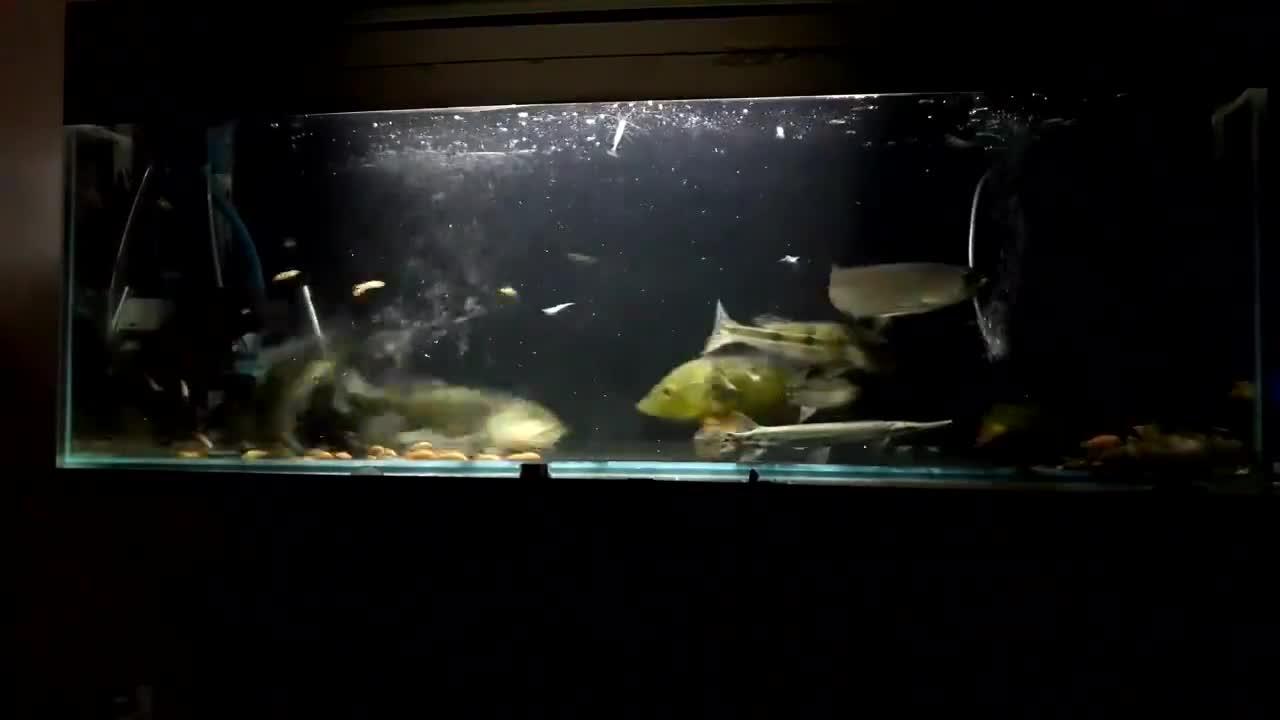实拍龙鱼帝王三间鱼和虎鱼抢夺金鱼