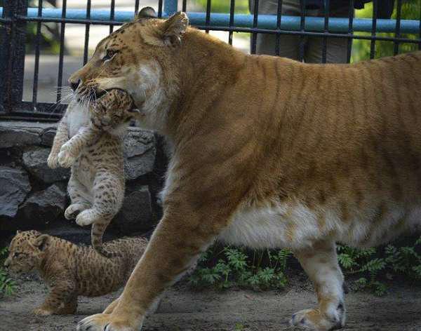 """狮子和老虎的""""杂交儿""""狮虎,成功降生动物园!"""