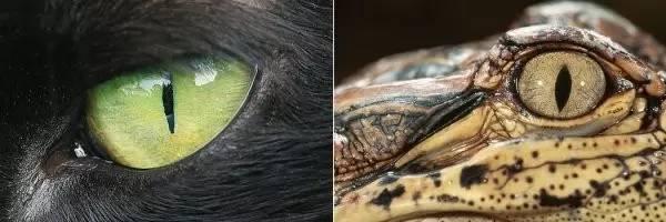 动物的假眼睛