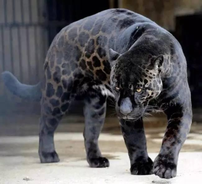 这不是喷子黑,这是动物黑!