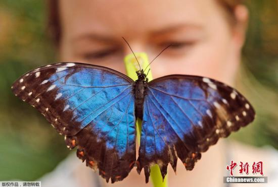 英国伦敦,英国伦敦自然历史博物馆举办奇异蝴蝶展,儿童与蝴蝶亲密接触