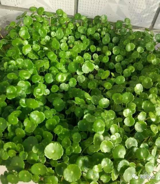背景 壁纸 绿色 绿叶 蔬菜 树叶 植物 桌面 557_641图片