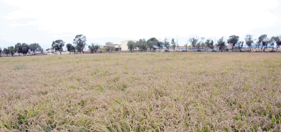 """东营:水稻保险让农户吃上""""定心丸"""""""
