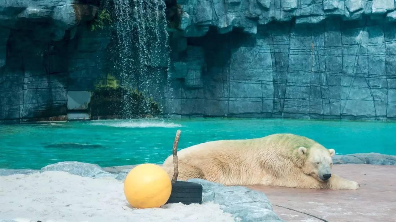 优秀如新加坡动物园,也有养得不太好的动物.比方说:北极熊.