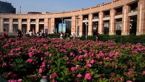 平阴玫瑰盛开在泉城广场4