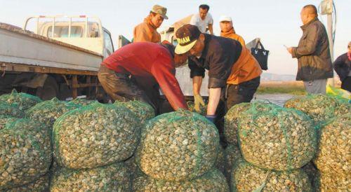鲜肥的蛤蜊一上岸,就被广大商贩收走。