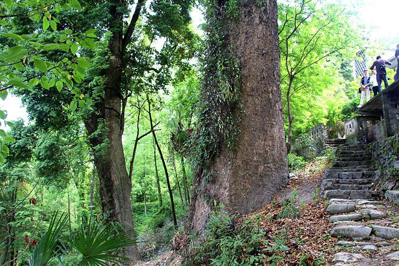 酉阳铜鼓发现约300亩金丝楠木群