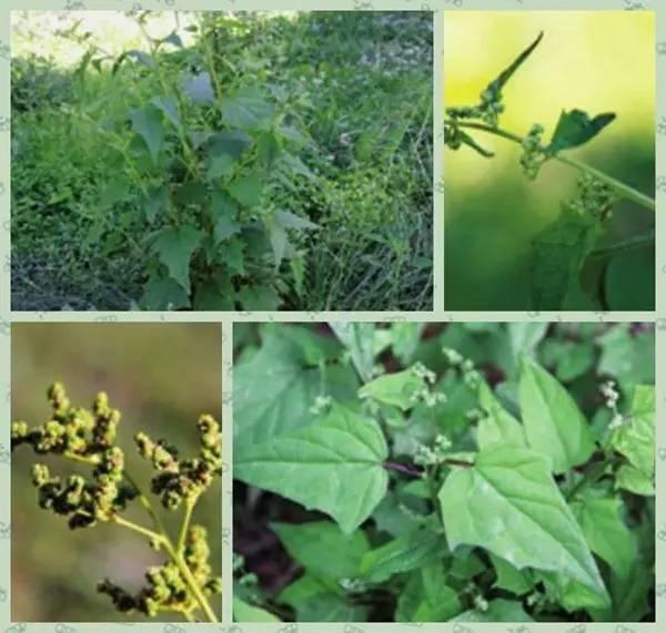 【植物科普】被子植物门 双子叶植物纲藜科——红叶藜,尖头叶藜