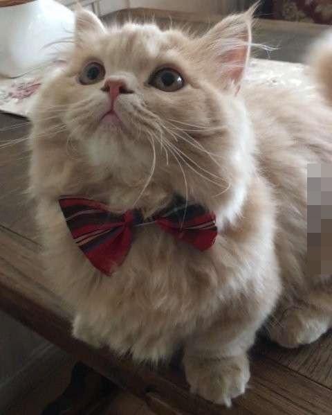 却是最足以融化人心的,因为它…是一只超萌的新品种猫咪-小步舞曲猫