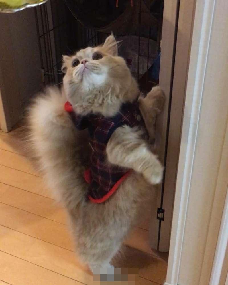 却是最足以融化人心的,因为它…是一只超萌的新品种猫咪-小步舞曲猫,b