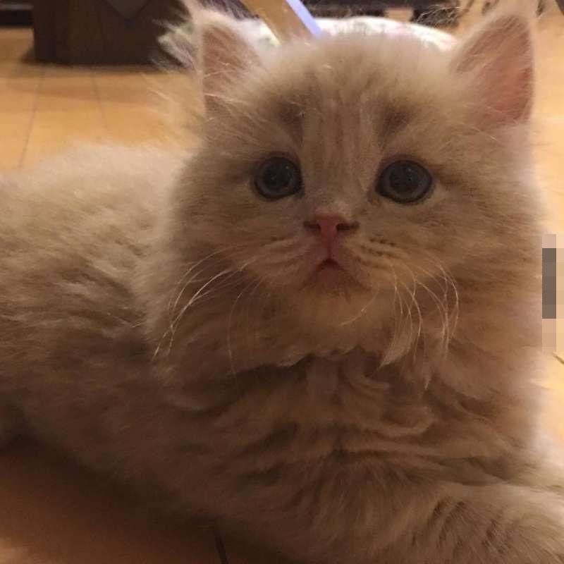 所以bell的尾巴显得比其他猫咪更蓬松巨大,就像是超可爱的「松树尾巴