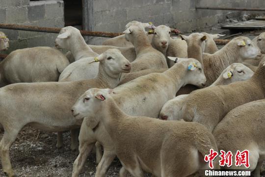 隔离场内的杜泊种羊。贵州检验检疫局 供图