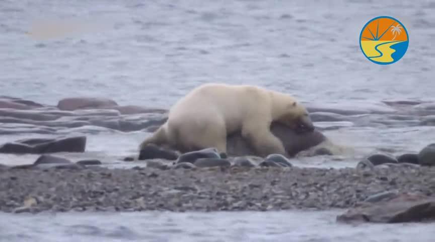 北极熊是北极扛视频?把子:它咬破我的皮仓鼠海象两只脚站立图片