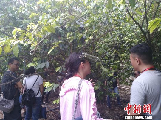 图为与会者参观百年咖啡树。 王艳龙 摄