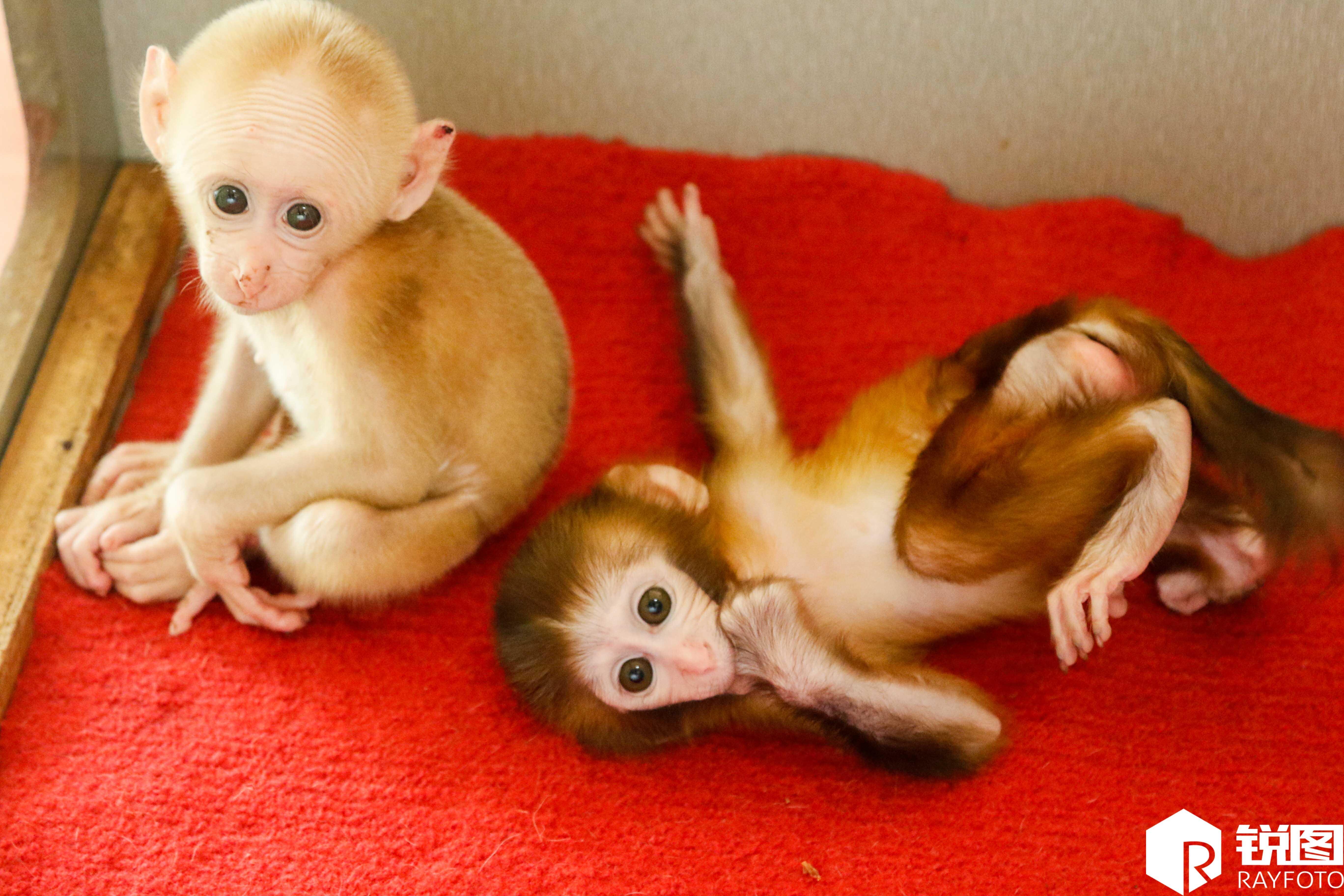 浙江市民路边捡到小猴子 竟是国家二级野生保护动物
