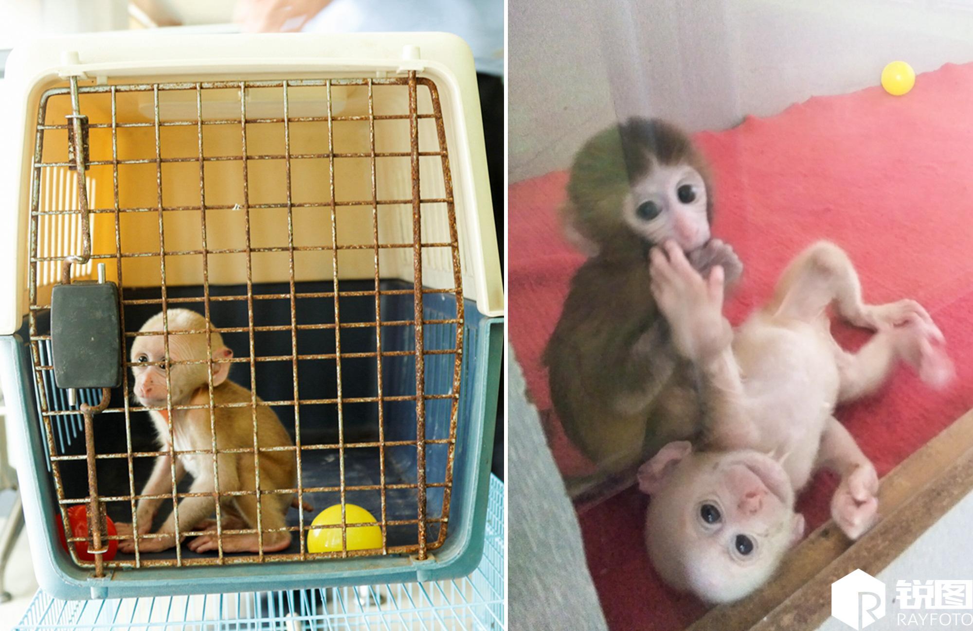市森林公安局又将小猴子送到了杭州野生动物世界,如今小猴子跟动物园