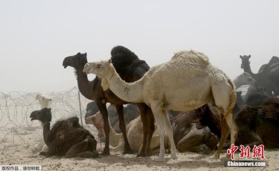 当地时间2017年6月20日,卡塔尔Abu Samrah,沙特阿拉伯和卡塔尔边境地区沙漠地带的骆驼。