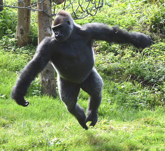 英动物园3只黑猩猩逃出围栏 拔水管扯电线胡作非为