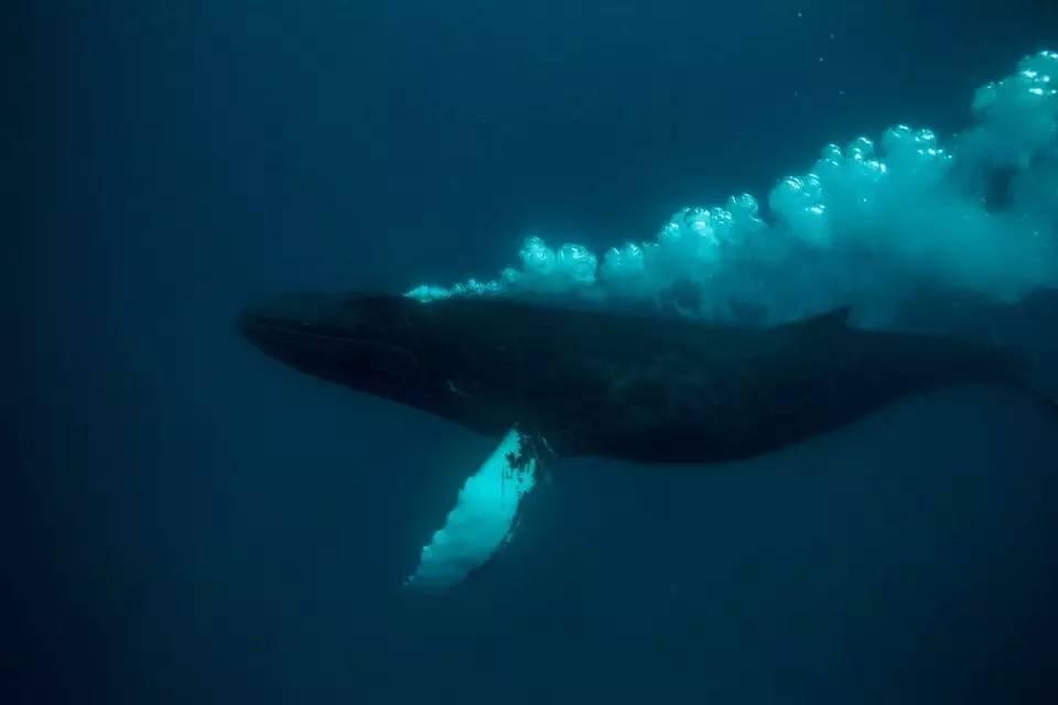 """这种鲸鱼还经常喜欢""""拔刀相助"""",在海里解救那些被虎鲸围捕的其他动物"""