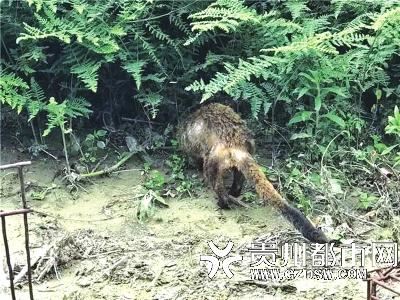 是林业公安部门打击猎捕和贩卖野生动物专项行动中查缴的,有花面狸3只