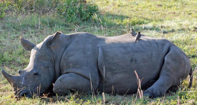 壁纸 大象 动物 犀牛 野生动物 640_343