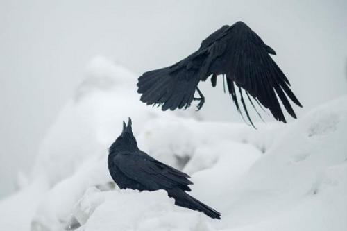 资料图:乌鸦