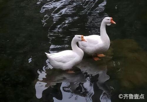 情报站|两只大白鹅心有灵犀,上演神同步!