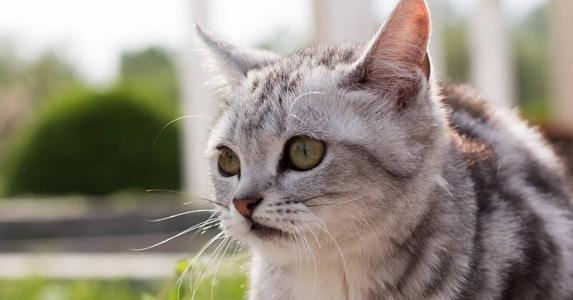 自来手术后的第二天,有只挺漂亮的白猫溜到了家里.