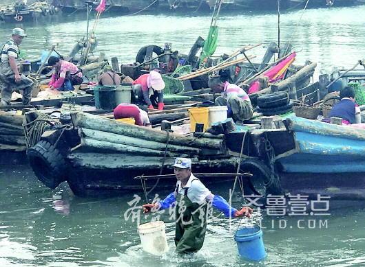崂山区王哥庄街道黄山社区近半数居民从事海蜇捕捞,今年7月20日为海蜇开捕期,捕捞季约持续2-3个月。由于在近海,渔民驾驶小船从码头到捕捞区域只需要15分钟,海水涨退之间水流较缓,是捕捞海蜇的最好时机。捕捞分解海蜇是个重体力活,出一个潮之后要忙碌3个小时,一天出2-3个潮就不错了。 捕捞一般是夫妻搭档,男人捕捞回港后,女人在船上手工分解出里子、爪子、脑子、头、皮等,海蜇里子必须在捕获后尽快分割,否则海蜇死亡后里子会很快变质,无法食用。记者看到,分离后的皮和头再一筐筐一桶桶运到盐和明矾池里腌制,之后加工成蜇