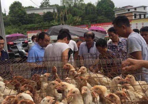 图:江西省芦溪县源南乡为贫困户发放蛋鸡