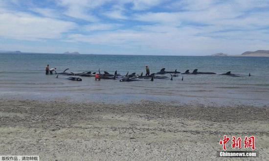 当地时间2016年5月16日公布的图片,墨西哥下加利福尼亚,27头领航鲸在海滩搁浅,墨西哥陆军和当地渔民等人参与救援工作,仅3头领航鲸成功获救。