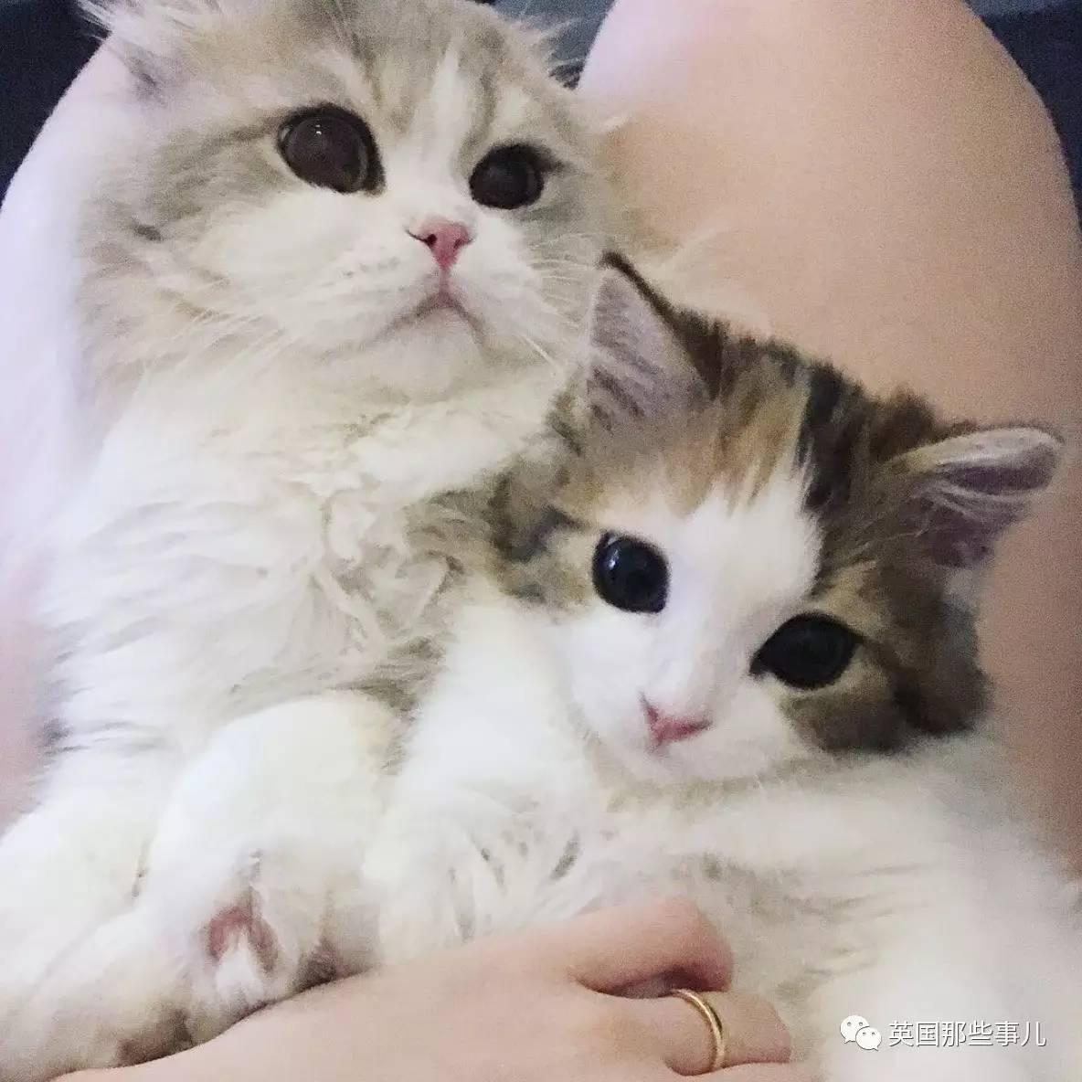 一对眼睛超级大大大的喵兄妹,哥哥高冷妹妹软萌,简直太可爱了啊啊啊