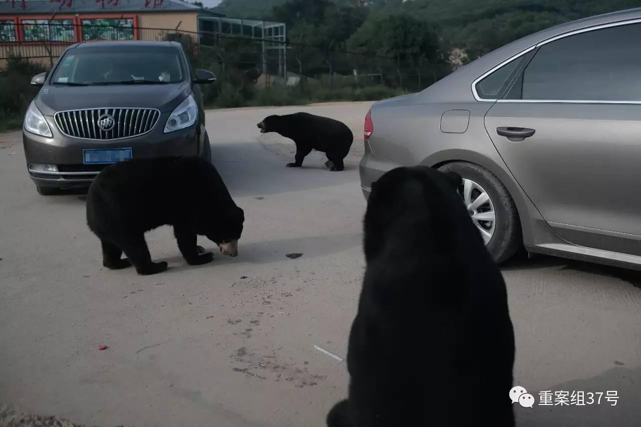2017年8月21日下午,北京市八达岭野生动物世界马来熊园里,马来熊靠近自驾游的私家车。新京报记者 朱骏 摄 链接 动物园内游客遭袭事件屡有发生 近一两年,全国各地的动物园,因违反园区规定而遭到野生动物袭击不幸受伤甚至遇难的事件多次发生: 2015年8月12日,一名女性游客在秦皇岛野生动物园白虎园区自驾参观时,违反规定自行下车,受到老虎攻击受伤。该游客在送往医院后经抢救无效死亡。 2015年7月4日,成都雅安碧峰峡景区五豹园内,一名2岁男孩在和白虎合影后,不慎将右手臂伸入防护网空隙中,被白虎咬断,整个过
