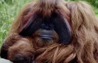 """""""上过大学""""的红毛猩猩死亡悲剧:实验动物何去何从?"""