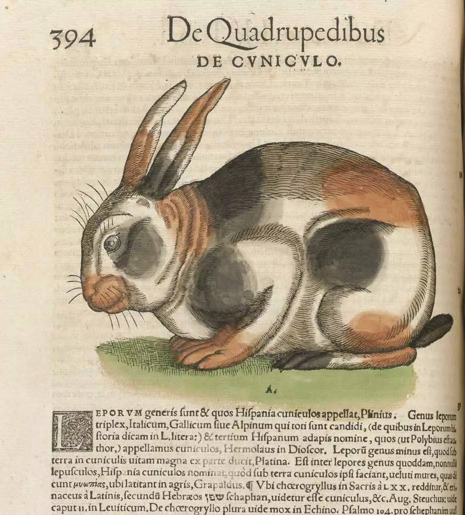 ▍中世纪书籍中的兔   据说,天主教曾经宣称新生的小兔子不是肉而是