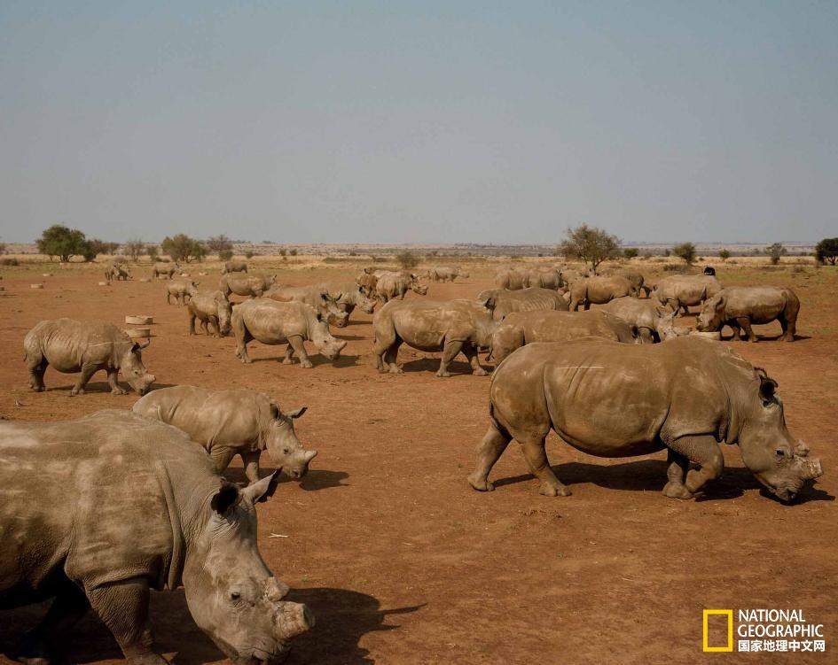 犀角线上拍卖在即!犀牛将何去何从?