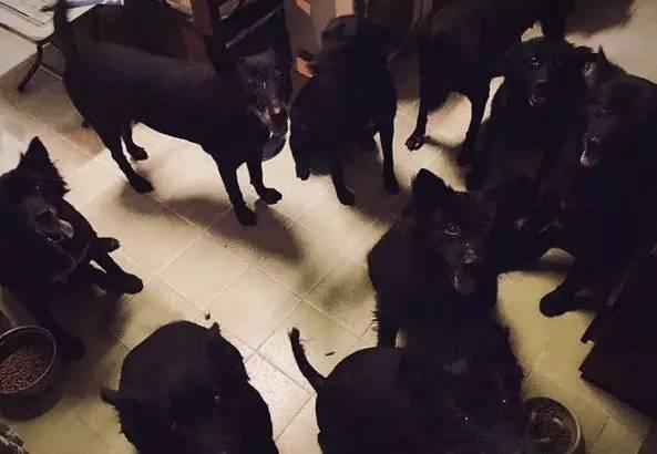 """养了9只黑狗在家,就可以住了一窝""""黑社"""".高中生警校吗考好像图片"""
