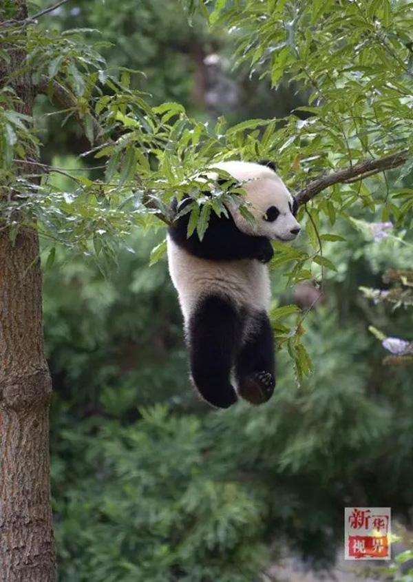 """2014年8月23日,""""宝宝""""在华盛顿国家动物园里玩耍. 新华社 资料图"""